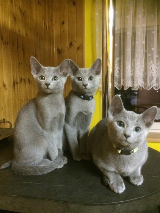 46419d7d6 06.01.2019 jsme se zúčastnili mezinárodní výstavy koček v Ostravě. Výstava  byla moc pěkná, všechny naše 3 kočičky získaly pěkné hodnocení :-) Fotky z  ...